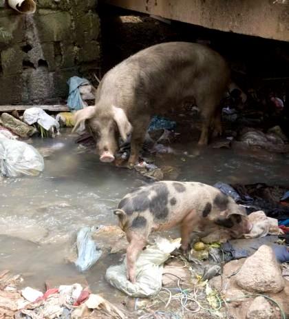 Porcos no Esgoto