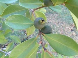 Fruto do Araçazeiro