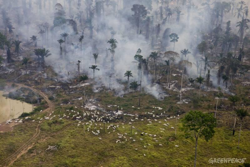 Pecuária, a máquina que move o desmatamento daAmazônia