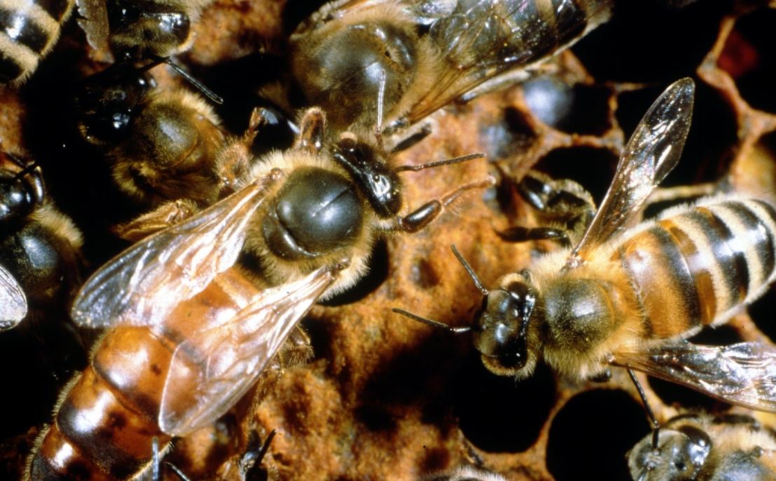 Tipo de pesticida comum reduz as chances de uma abelha rainha começar uma novacolônia