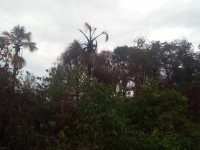 O fogo chegou ao topo da palmeira