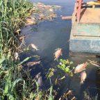 Peixes aparecem mortos no lago de Rochedo, no rio Meia Ponte.
